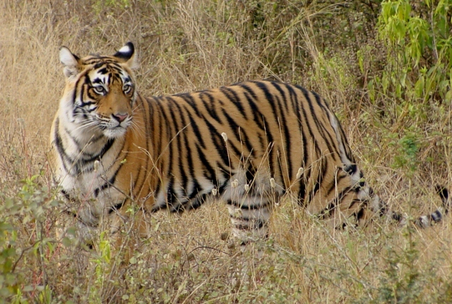 Picture of a Bengal Tiger taken is India
